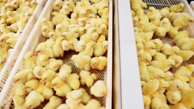 małe żółte pisklęta w fermie kurczaka - młody ptak filmów i materiałów b-roll