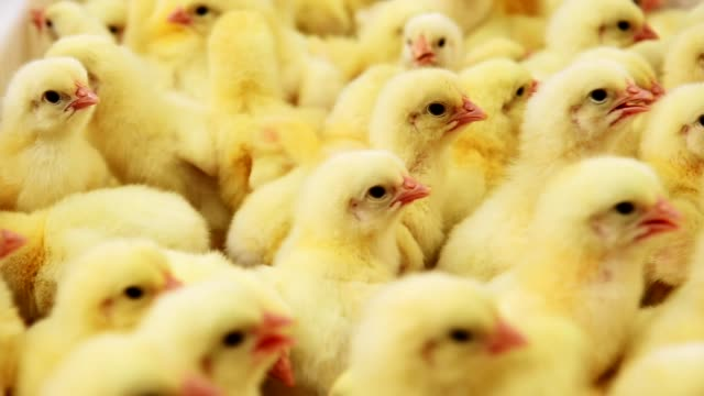 small yellow chicks in chicken farm