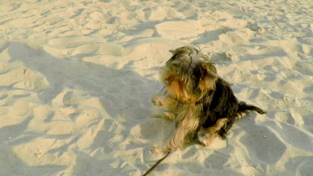 A Small Yorkshire Dog Playing on the Sand. video