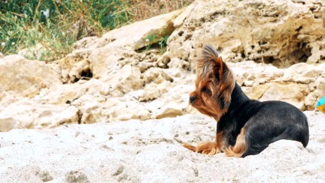 砂浜のビーチで小さなヨークシャー テリア - 愛玩犬点の映像素材/bロール