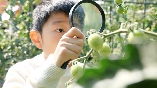 Smart boy looking tomato plant with magnifying glass