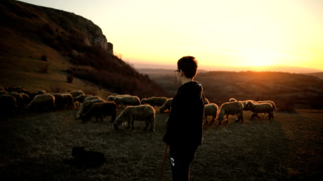 Smart dogs helping to shepherd.Group of sheep s with teenager shepherd, grazing on the mountain in the dusk