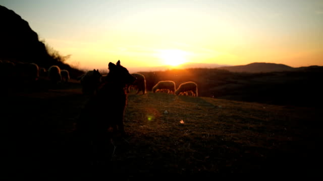 Smart dogs leading sheep, helping to shepherd in sunset on the mountain