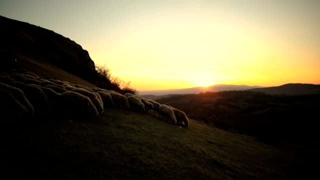 Smart dogs leading sheep, helping to woman shepherd in sunset on the mountain
