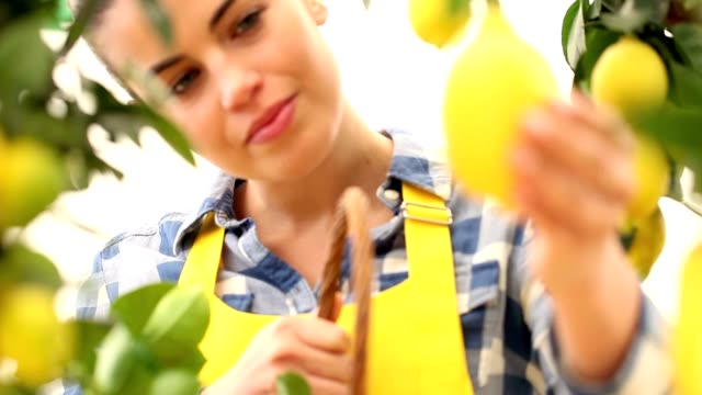 smiling woman picks a lemon and put it in the basket wicker video