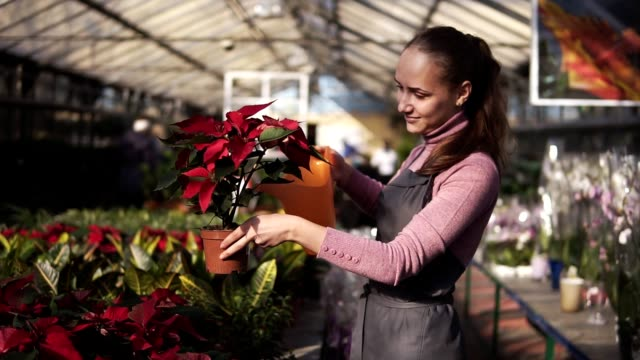 Smiling young female gardener in uniform watering a pot of red poinsettia with garden watering can in greenhouse video