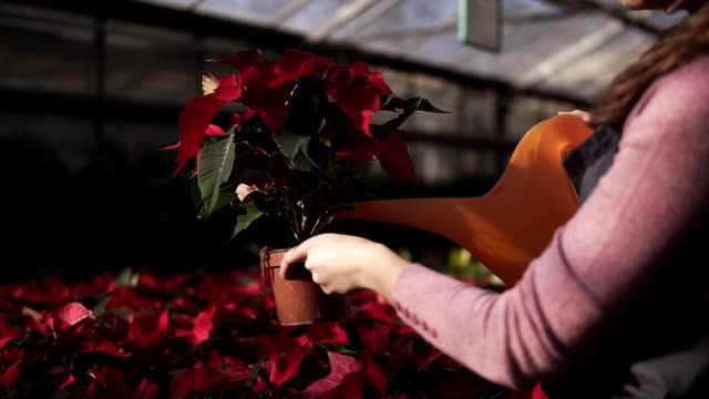 Smiling young female gardener in uniform watering pots of red poinsettia with garden watering can in greenhouse video