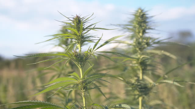 SLO MO Smoke blowing at the hemp plants Slow motion close up shot of a smoke blowing at the cannabis plants in the middle of a field. Also available in 4K resolution. hashish stock videos & royalty-free footage
