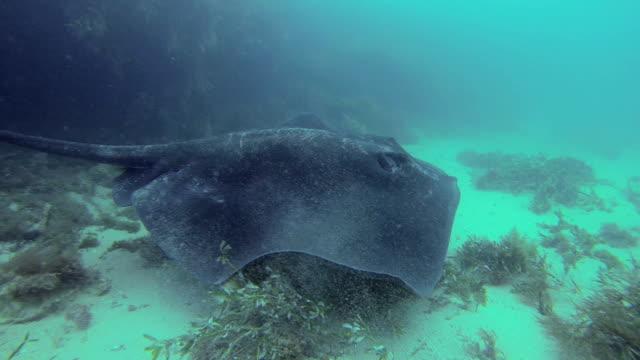 vídeos de stock e filmes b-roll de baiacu-ray (bullray) hd - uge