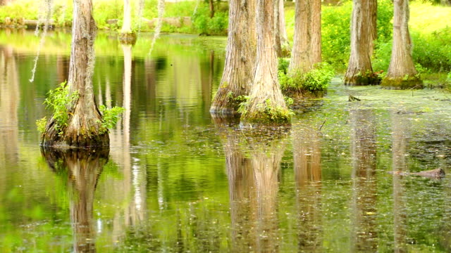 Smooth Water Reflects Cypress Trees in Swamp Marsh Lake Trees grow right up out of the water in this marsh swamp area of the southern United States florida us state stock videos & royalty-free footage