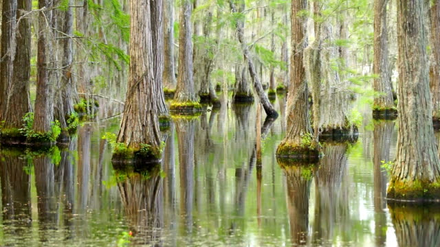 Smooth Water Reflects Cypress Trees in Swamp Marsh Lake Trees grow right up out of the water in this marsh swamp area of the southern United florida us state stock videos & royalty-free footage