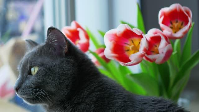 vídeos de stock, filmes e b-roll de um gato grisalho de cabelos lisos com olhos verdes olha pela janela, ao lado dela está um buquê de tulipas com branco vermelho e batons e hastes verdes. close-up - felino