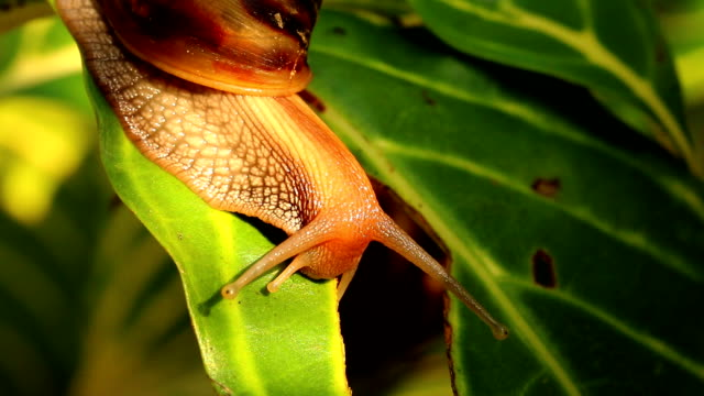 Snail climbing on the leaf