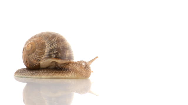 HD snail crawling in studio video