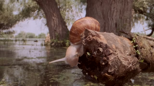 Snail crawling on a branch on a lake and trees background. Grape snail in the natural habitat. Close-up