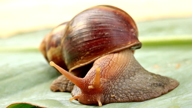 snail crawling on green banana leaves video