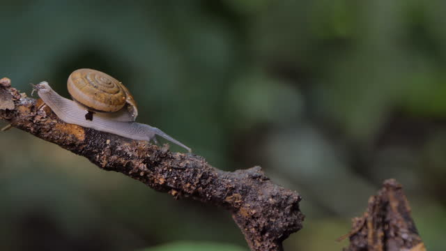 Snail crawling on tree in tropical rain forest. video