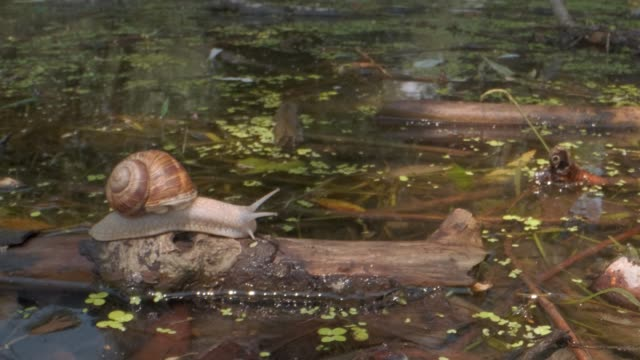 snail crawling over a flooded tree on a lake background. Grape snail in the natural habitat. Close-up