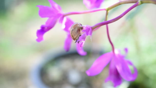 Snail eating beautiful purple orchid in garden.