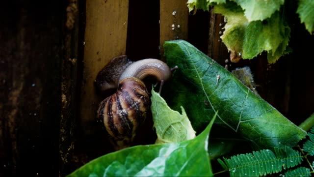 Snail eating green leaf. Timelapse, close up video