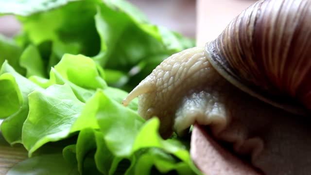 カタツムリは野菜を食べる。レタスの新鮮な葉を食べている庭のカタツムリ。グリーンサラダを食べている庭のカタツムリをクローズアップします。 - 動物の身体各部点の映像素材/bロール