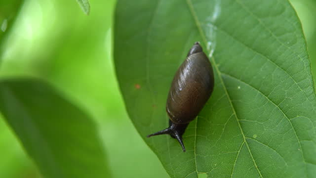 A snail glides on a green leaf. Snail with a shell on its back