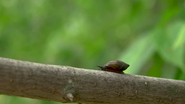A snail glides on a tree branch. Snail with a shell on its back