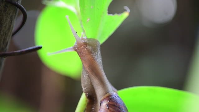 Snail head