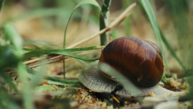 Snail Helix Pomatia Slowly Crawling In Grass. Roman Snail, Burgundy Snail, Edible Or Escargot, Is A Species Of Air-breathing Land Snail, A Pulmonate Gastropod Terrestrial Mollusc, Helicidae