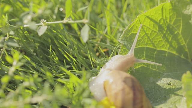 Snail in the garden. Snail close-up. Snail farm. Snails in the grass. Growing snails.