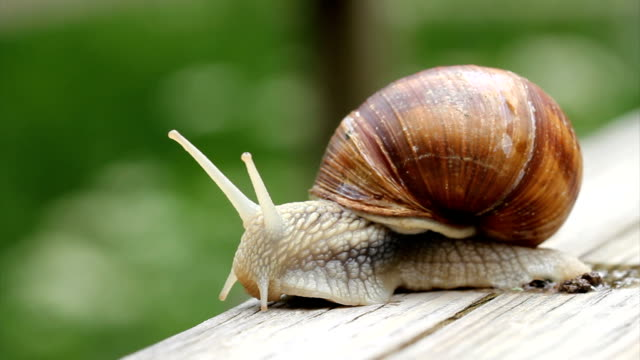 Snail macro HD video