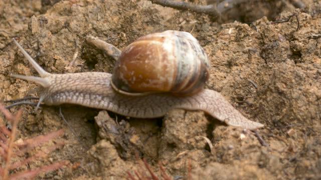 A Snail Moving Over Moist Soil