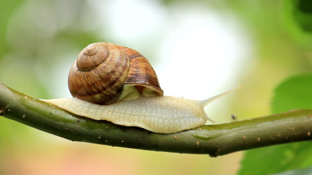 snail on a branch video