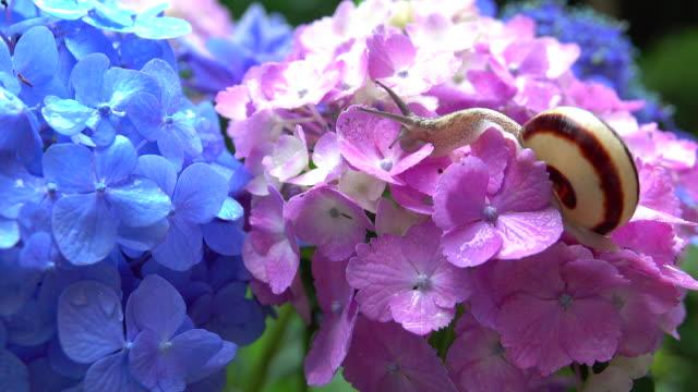 schnecke auf die hortensie blume - hortensie stock-videos und b-roll-filmmaterial