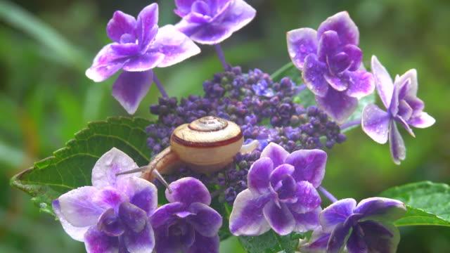 Snail on the hydrangea