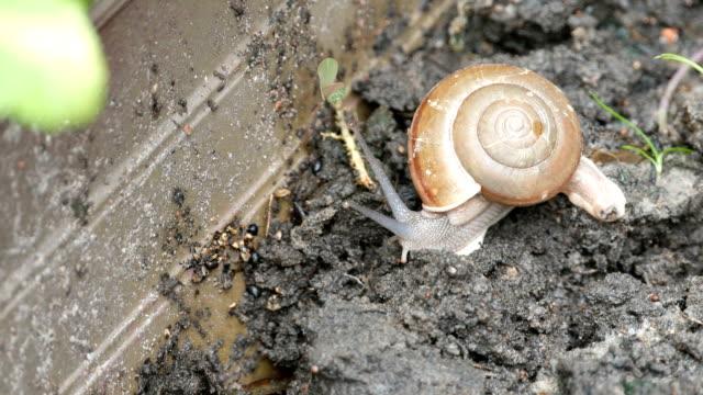 Snail on the soil video