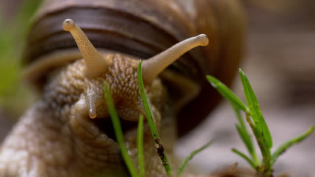 TS Snail showing the horns