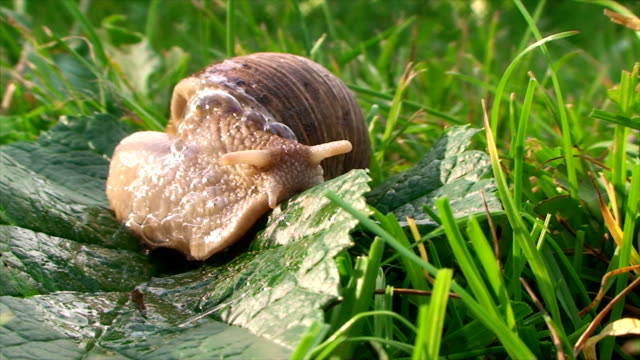 snail turns around and crawling on the grass video