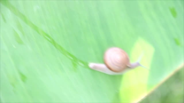 Snail walking on the leaf of a banana tree.