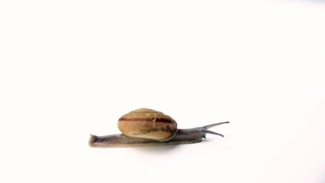 snail walking on white background video