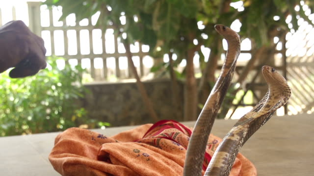 SLOW MOTION: Snake charmer with cobra video