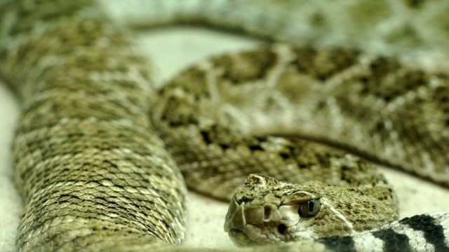 snake close up - mordere video stock e b–roll
