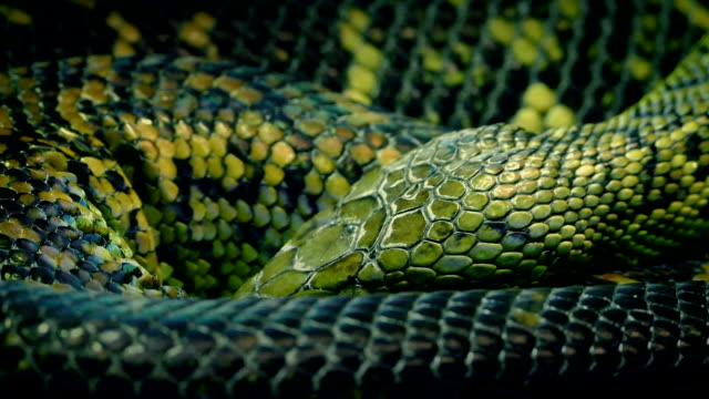 snake coiled up breathing slowly - snake stock videos and b-roll footage