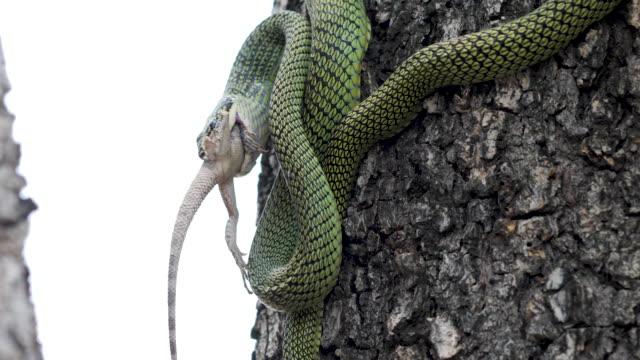 Snake Eating Lizard