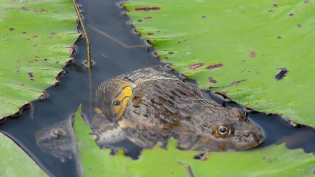 Serpiente comer víctima en agua - vídeo