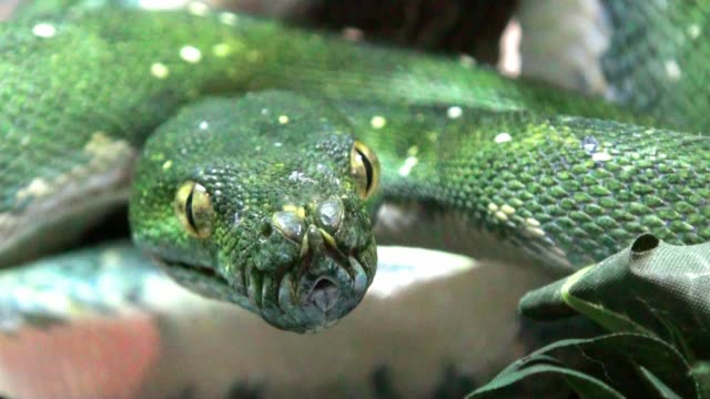 snake green mamba extremly close up - snake stock videos and b-roll footage