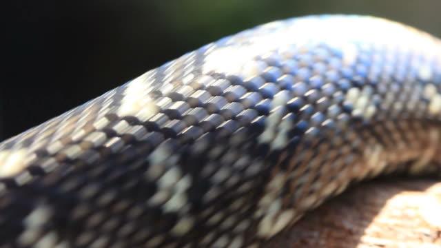 Snake Reptile Ready to Strike - Diamond Python video