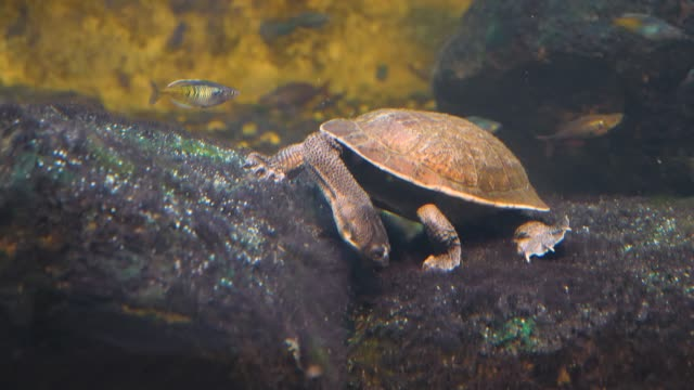 Snake-necked Turtle underwater on a rock Snake-necked Turtle  stands underwater on a rock. It pushes its nose into a crack between two rocks, with neck extended. tortoise stock videos & royalty-free footage