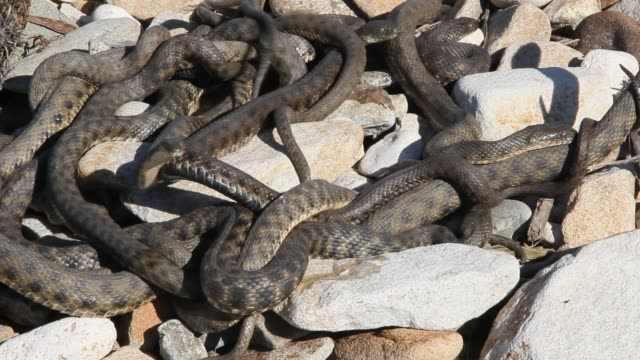 Snakes starts in the spring mating season. video