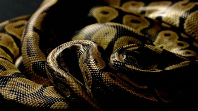 影でロイヤルの python の蛇 - ヘビ点の映像素材/bロール